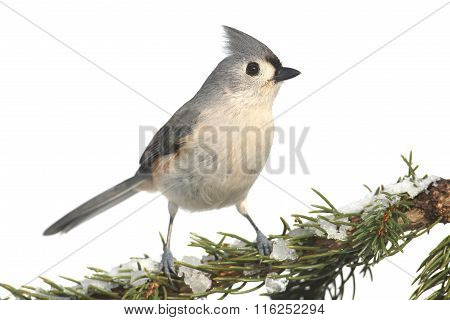 Titmouse On White