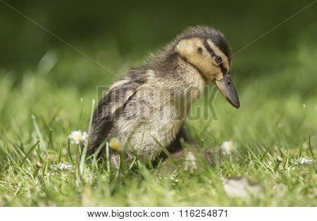 Mallard duckling on the grass close up