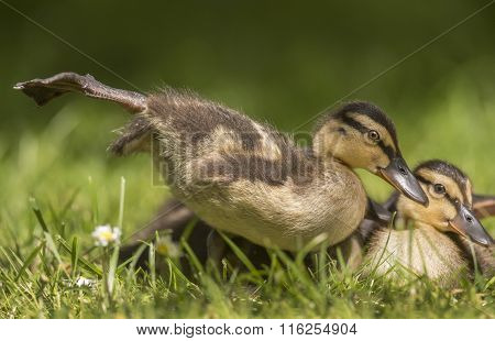 Mallard duckling on the grass close up stretching