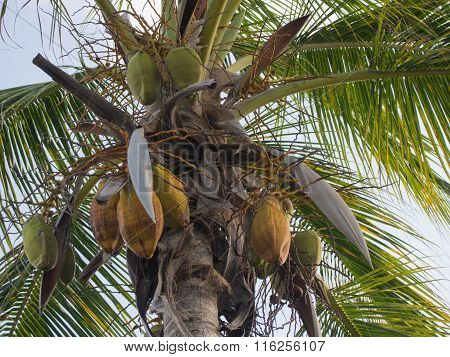 Coconuts Hanging From A Palm Tree