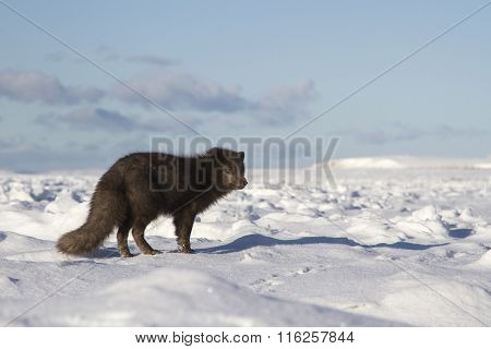 Commanders Blue Arctic Fox Standing On The Shore Of The Ocean Covered With Ice