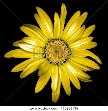 Surreal Dark Chrome Golden Daisy Flower Macro Isolated On Black