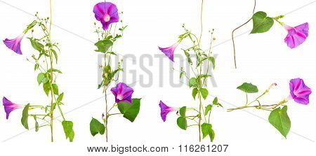 Set Morning Glory Flowers On Isolated On White Background