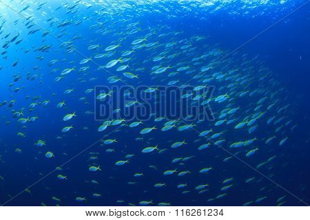 School sardines fish