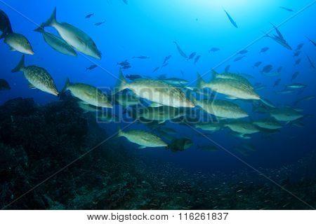 Longnose Emperor fish