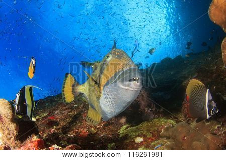 Titan Triggerfish and butterflyfish