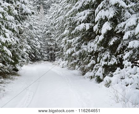 View Of A Winter Forest, Southern Bohemia