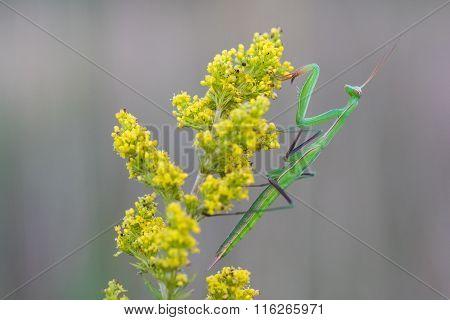 Mantis On Yellow Flower