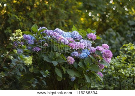 Blue And Purple Hydrangea Flowers