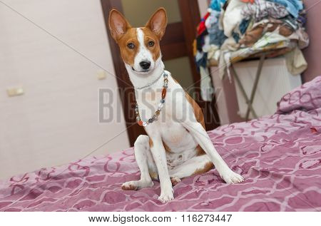 Morning scene in a bedroom of lazy basenji dog
