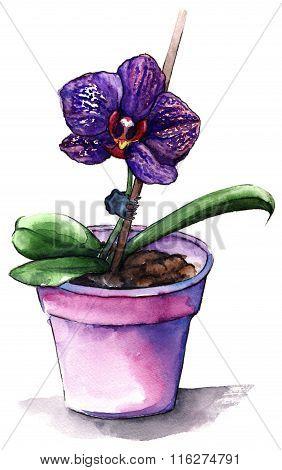 Violet Phalaenopsis Orchid Flower In Violet Pot