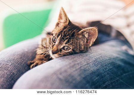 Cute Gray Tabby Kitten Resting On Top Of Lap