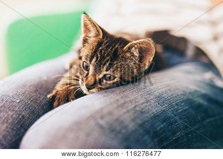 Domestic Tabby Kitten On Lap In Pensive Look