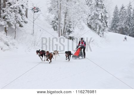 Sled Dog Race, dog team running on the winter road
