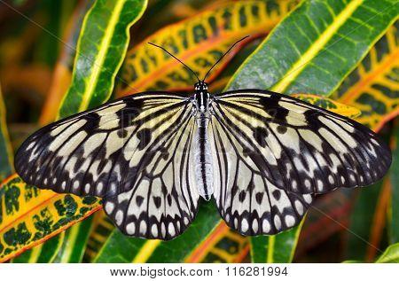 exotic butterfly in natural habitat (idea leuconoe chersonesia)