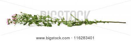 Single tall chrysanthemum flower isolated