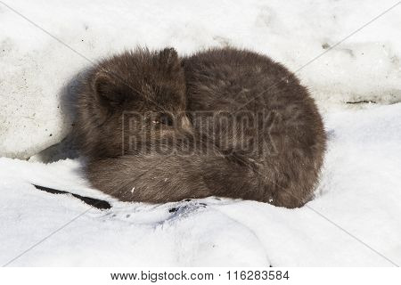 Commanders Blue Arctic Fox Sleeping On The Ice On The Ocean