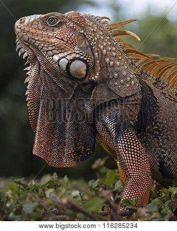 Big orange iguana
