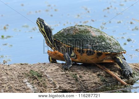 Yellow-bellied Slider Basking On A Log - Florida