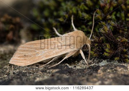 Common wainscot moth (Mythimna pallens)