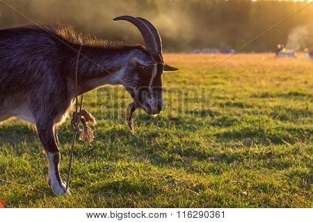 Black Billy Goat Grazing At Sunset On A Green Field