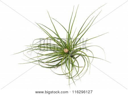 Air Plant Tillandsia Isolated White Background