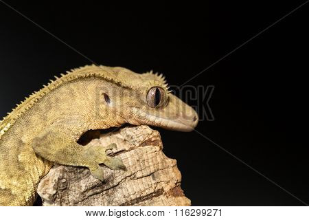 Lateral View Of A New Caledonian Crested Gecko