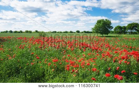 Red Carnation Poppy Field