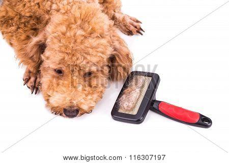 Poodle Dog After Brushing With  Detangled Fur Stuck On Brush