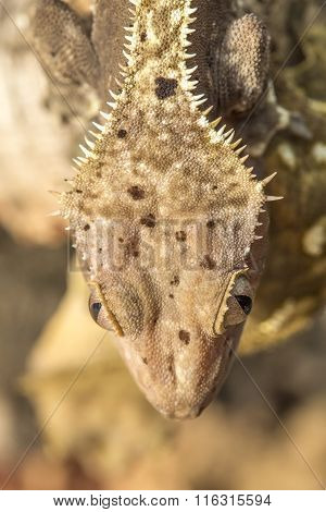 Head Of A New Caledonian Crested Gecko