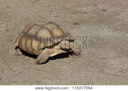 Big Overland Turtle