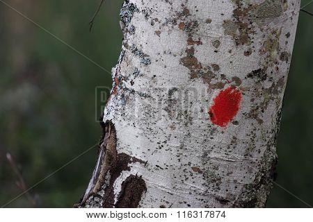 Beech Bark Marking For Hikers