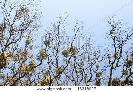 Bare Trees With Mistletoes