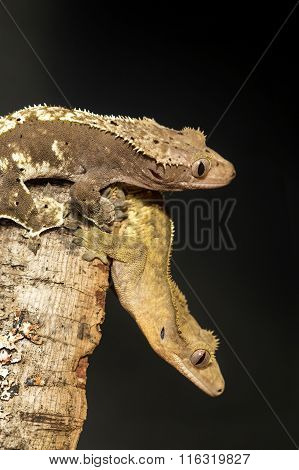 Couple Of New Caledonian Crested Geckos Hung On A Branch