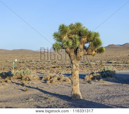 Beautiful Yucca Plants In Sunset In Desert Area I