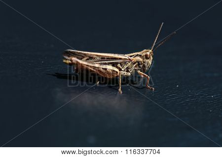 One Beautiful Grasshopper