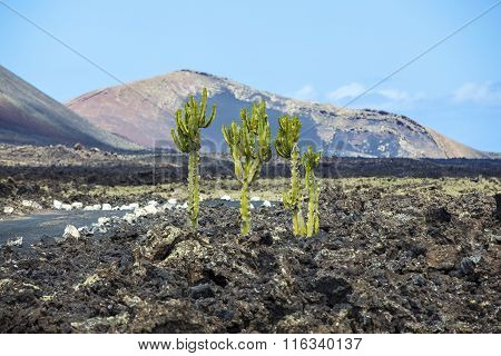 cactus growing on volcanic soil in Lanzarote