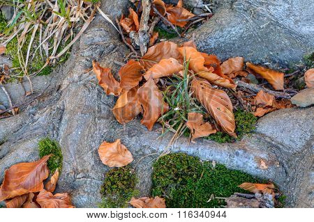 Old Tree Roots With Fallen Autumnal Leaves. A Root System Of Old Tree Covered With Fallen Orange And
