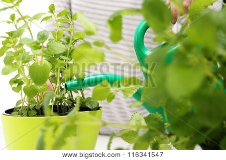 Domestic cultivation of herbs.
