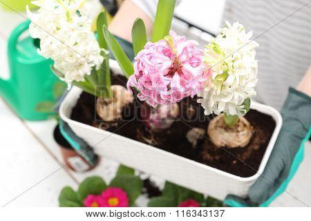 Onion flower, Planting of bulbous plants, hyacinth