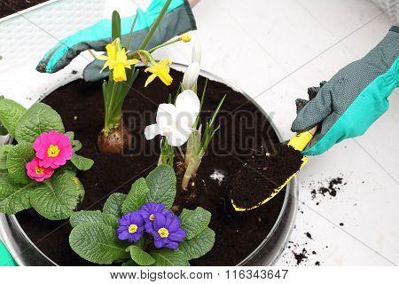 Primroses spring flowers
