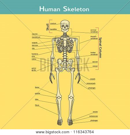 Human Skeleton With Explanations.