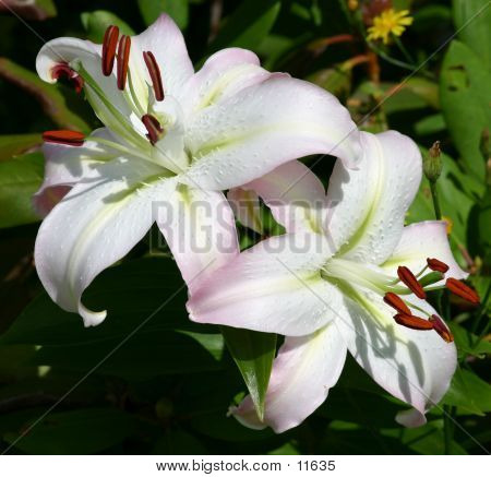 White Asiatic Lilies