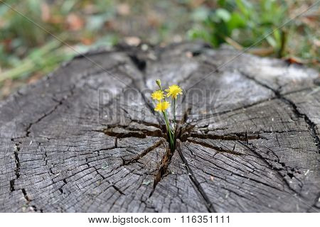 Flowers grow through stump