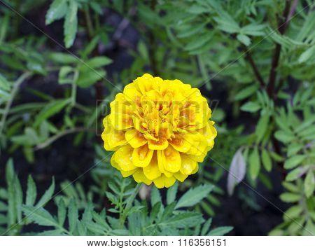 Frash Marigolds (Tagetes erecta Mexican marigold Aztec marigold African marigold)