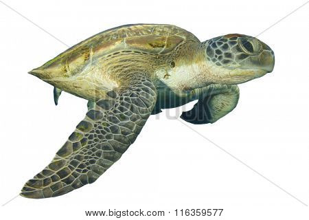 Sea Turtle isolated white background