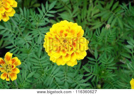Frash Marigolds (tagetes Erecta, Mexican Marigold, Aztec Marigold, African Marigold)
