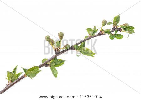 Young Blossoming Buds