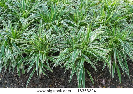 many variegated mondo grass in the park