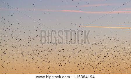 Large Amounts Of Birds Flying At Sunset